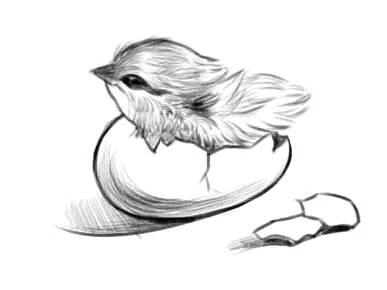 创意素描:小鸡出生啦!_哇,这只刚出生的小鸡真可爱抖